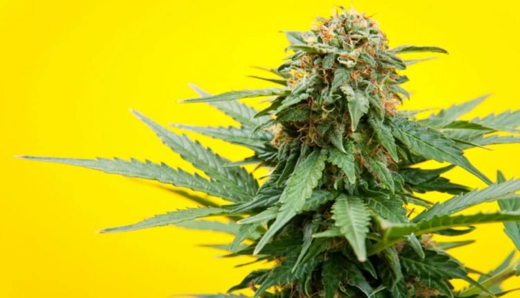 Medical and Recreational Cannabis1